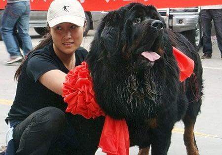 Tibetan_Mastiff.jpg