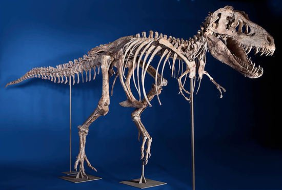 Tyrannosaurus_bataar_skeleton_1.jpg