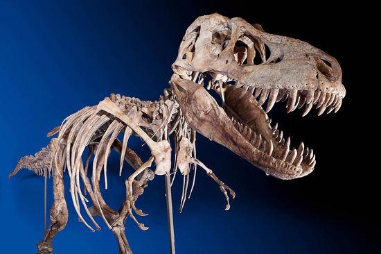 Tyrannosaurus_bataar_skeleton_2.jpg