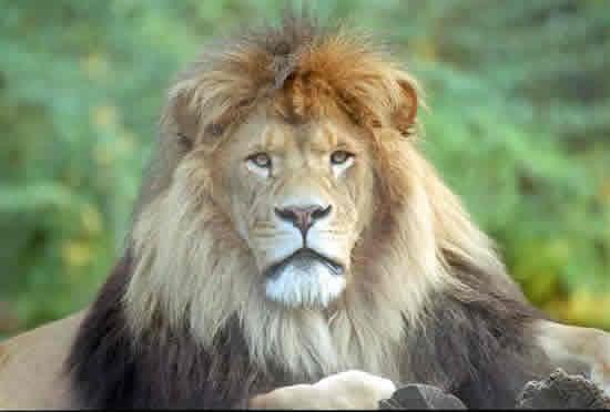 male-lion.jpg
